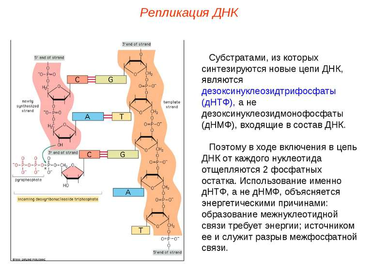Субстратами, из которых синтезируются новые цепи ДНК, являются дезоксинуклеоз...