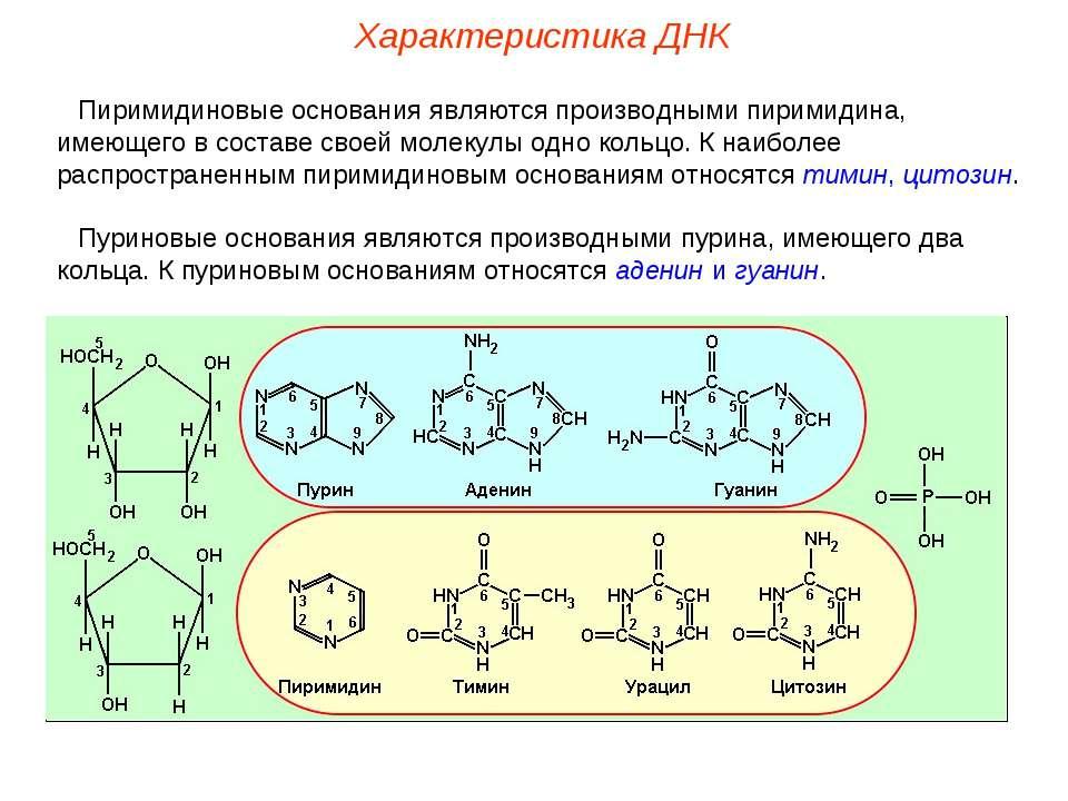Пиримидиновые основания являются производными пиримидина, имеющего в составе ...