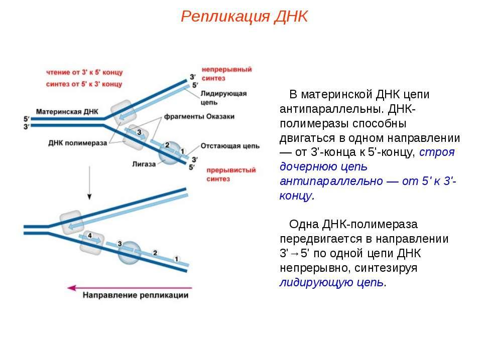 В материнской ДНК цепи антипараллельны. ДНК-полимеразы способны двигаться в о...
