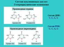 Состав нуклеиновых кислот Гетероциклические основания Производные пурина Аден...