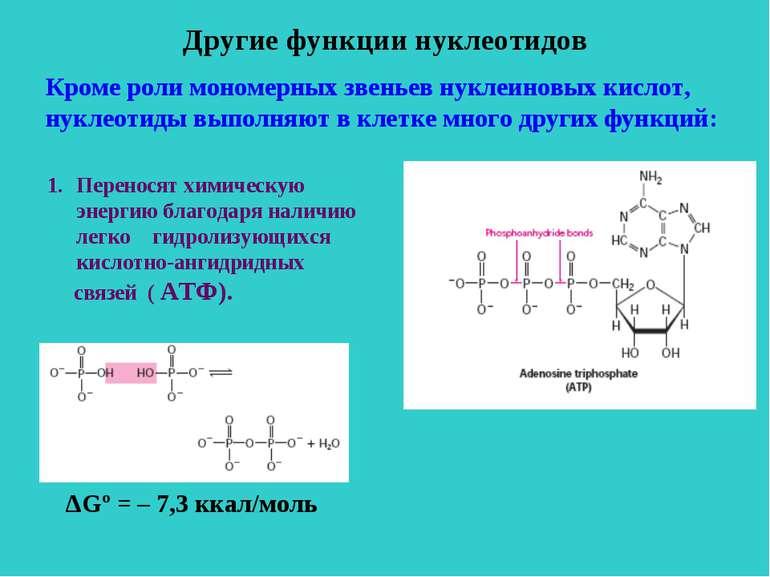 Другие функции нуклеотидов Кроме роли мономерных звеньев нуклеиновых кислот, ...