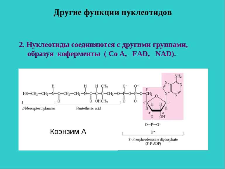 Другие функции нуклеотидов 2. Нуклеотиды соединяются с другими группами, обра...