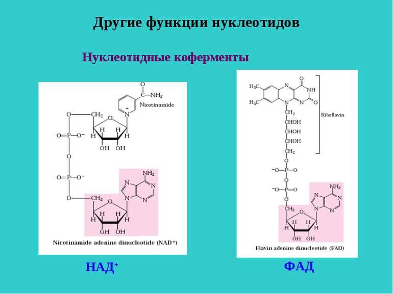 Другие функции нуклеотидов Нуклеотидные коферменты НАД+ ФАД