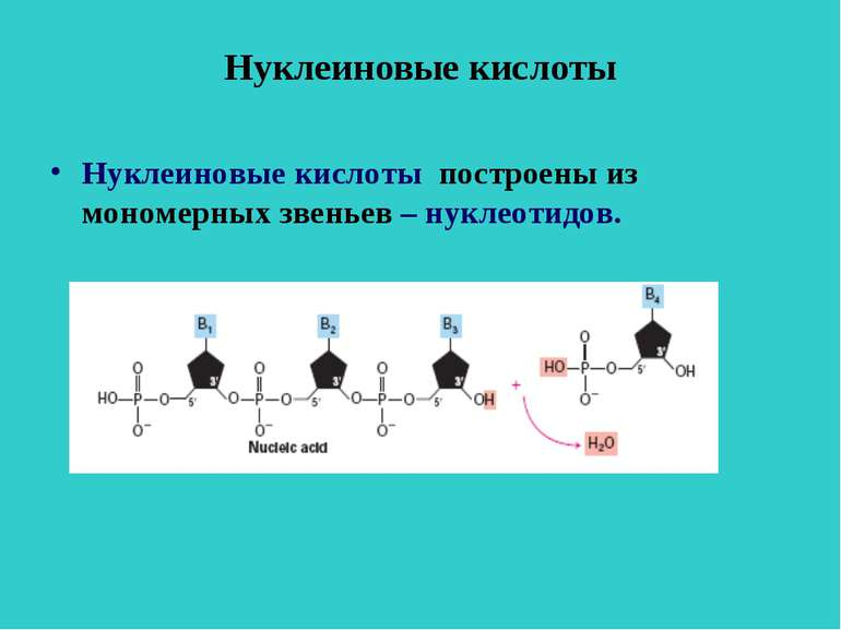 Нуклеиновые кислоты Нуклеиновые кислоты построены из мономерных звеньев – нук...