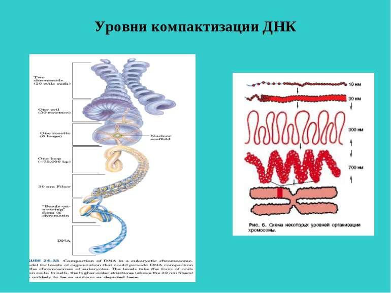 Уровни компактизации ДНК