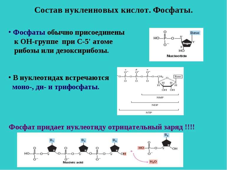 Состав нуклеиновых кислот. Фосфаты. Фосфаты обычно присоединены к ОН-группе п...