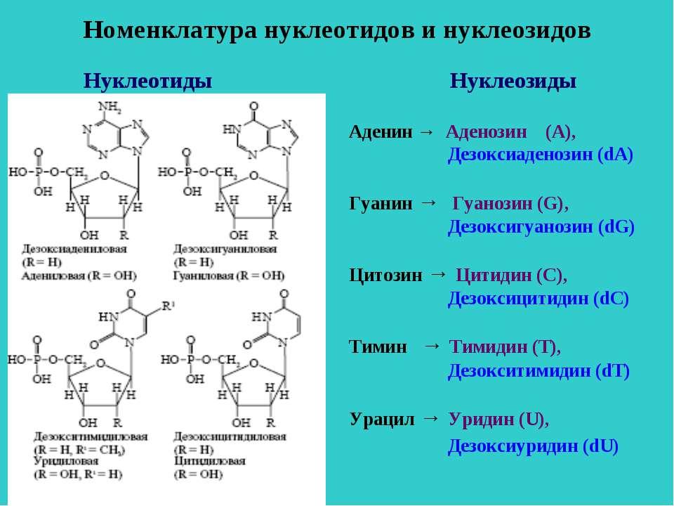 Номенклатура нуклеотидов и нуклеозидов Нуклеозиды Аденин → Аденозин (А), Дезо...