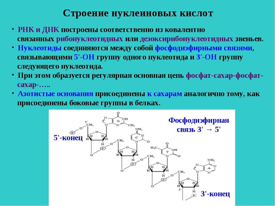 Строение нуклеиновых кислот РНК и ДНК построены соответственно из ковалентно ...