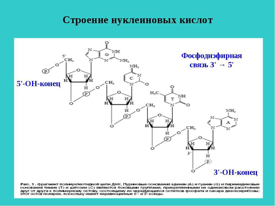 Строение нуклеиновых кислот 5'-ОН-конец 3'-ОН-конец Фосфодиэфирная связь 3' → 5'