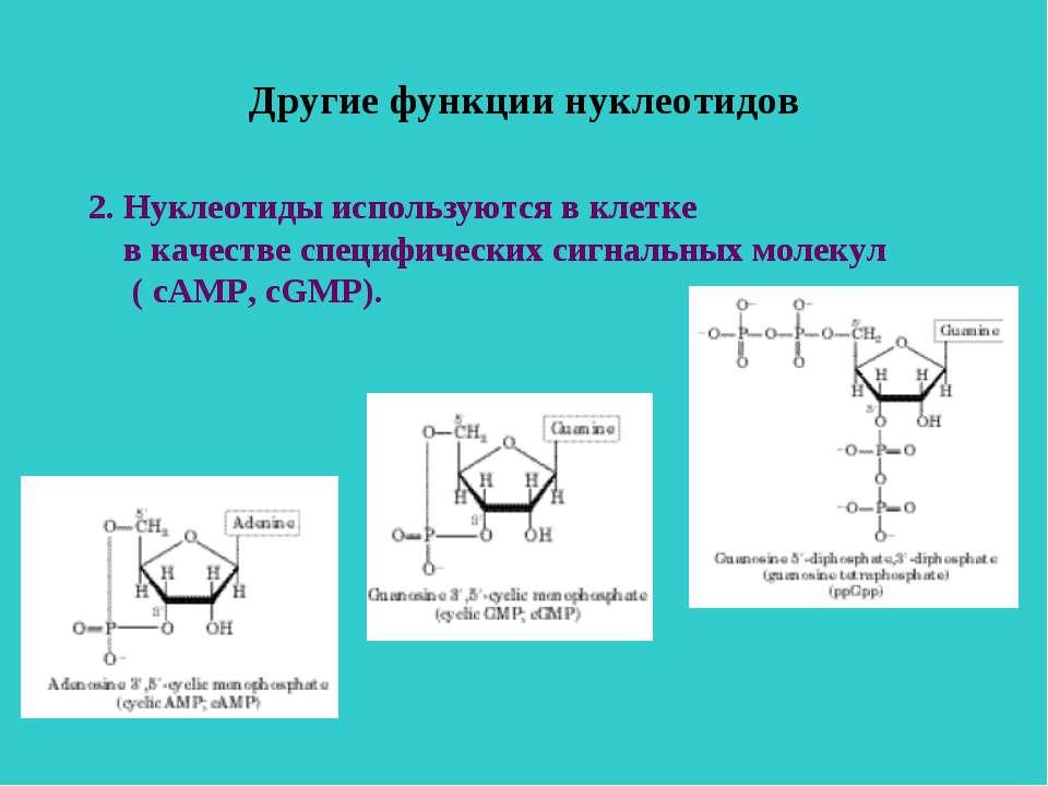 Другие функции нуклеотидов 2. Нуклеотиды используются в клетке в качестве спе...
