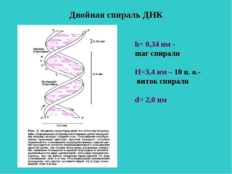 Двойная спираль ДНК h= 0,34 нм - шаг спирали Н=3,4 нм – 10 п. о.- виток спира...