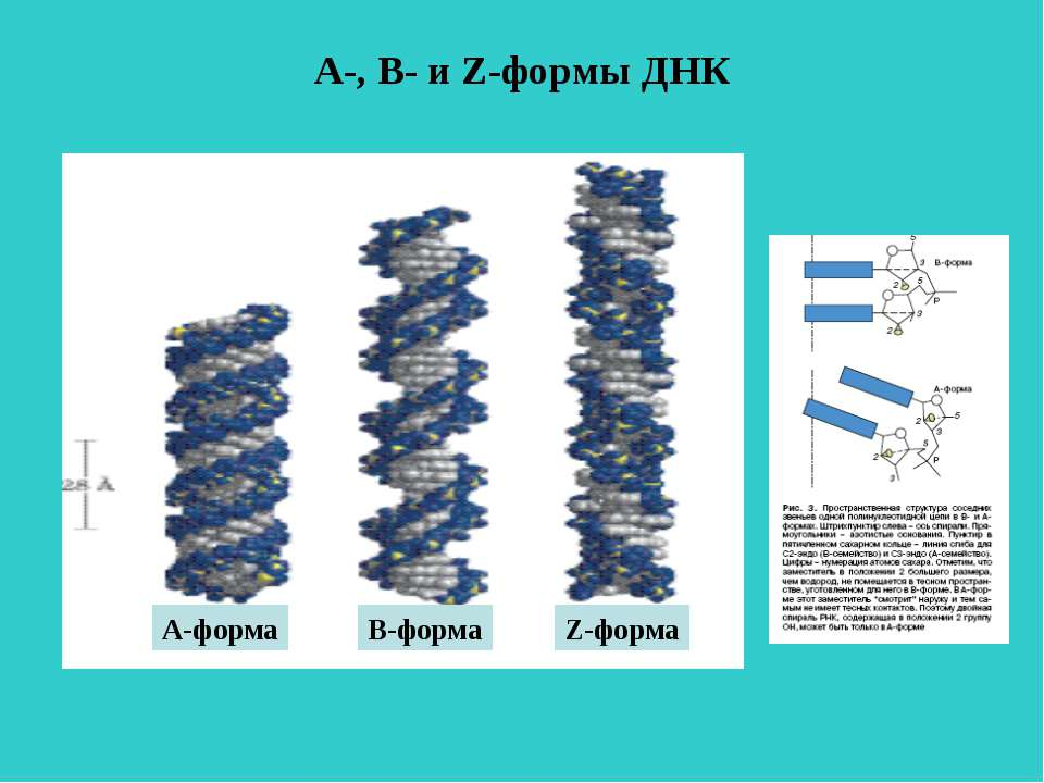 А-, В- и Z-формы ДНК А-форма В-форма Z-форма