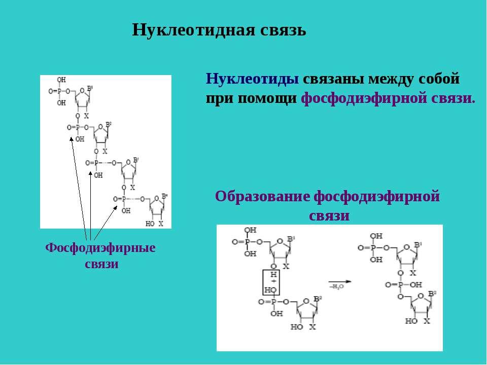 Нуклеотидная связь Нуклеотиды связаны между собой при помощи фосфодиэфирной с...