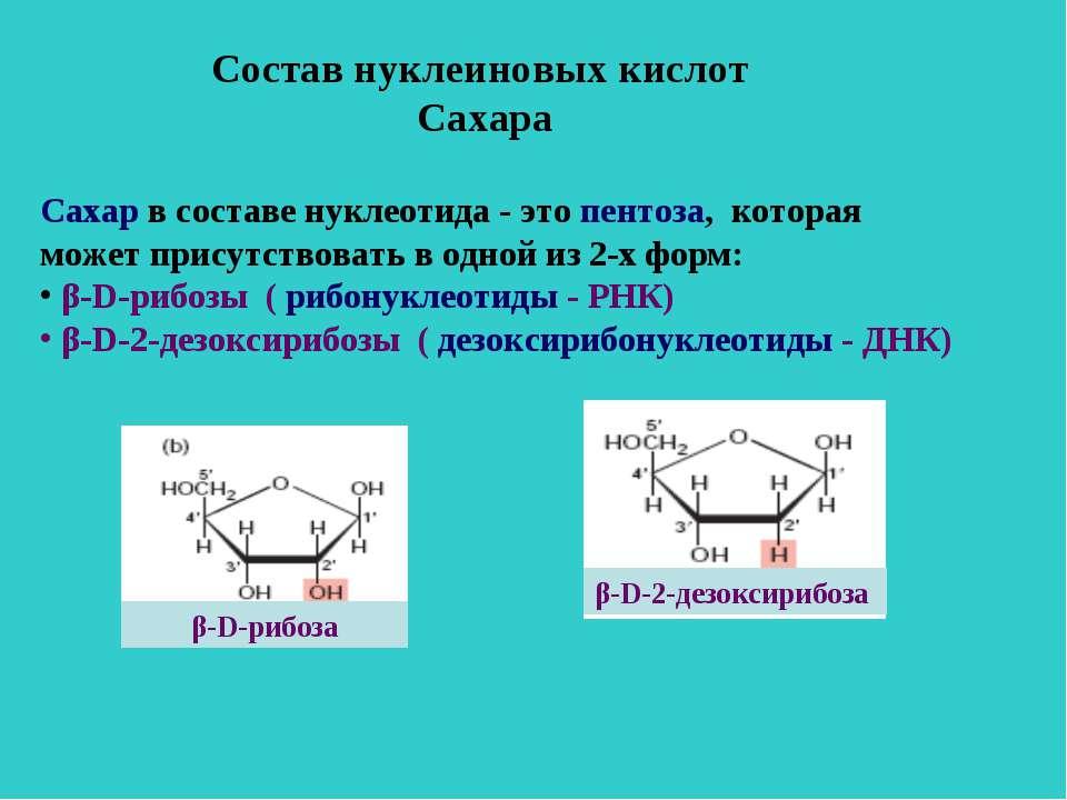 Состав нуклеиновых кислот Сахара Сахар в составе нуклеотида - это пентоза, ко...