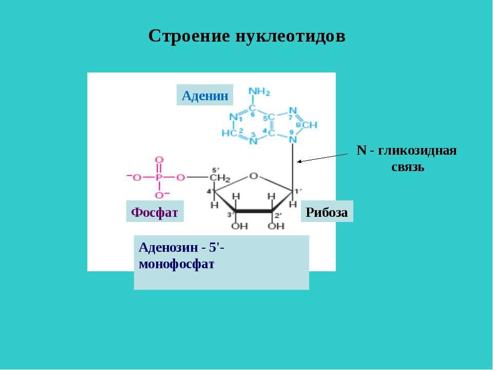 Строение нуклеотидов Аденозин - 5'- монофосфат Рибоза Фосфат Аденин N - глико...