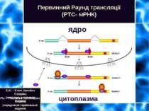Первинний Раунд трансляції (PTC- мРНК) ядро цитоплазма EJC – Exon Junction Co...