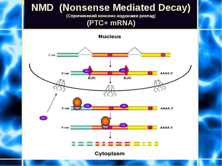 NMD (Nonsense Mediated Decay) (Спричинений нонсенс-кодонами розпад) (PTC+ mRN...