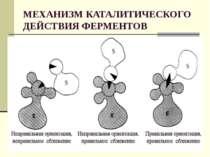 МЕХАНИЗМ КАТАЛИТИЧЕСКОГО ДЕЙСТВИЯ ФЕРМЕНТОВ