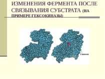 ИЗМЕНЕНИЯ ФЕРМЕНТА ПОСЛЕ СВЯЗЫВАНИЯ СУБСТРАТА (НА ПРИМЕРЕ ГЕКСОКИНАЗЫ)