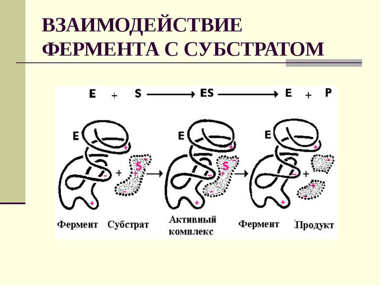 ВЗАИМОДЕЙСТВИЕ ФЕРМЕНТА С СУБСТРАТОМ