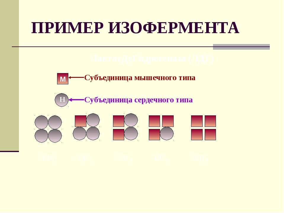 ПРИМЕР ИЗОФЕРМЕНТА ЛактатДеГидрогеназа (ЛДГ) М Н Субъединица мышечного типа С...