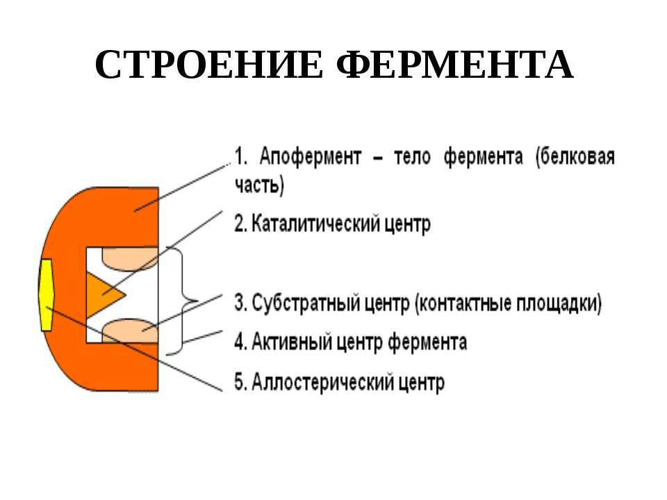 СТРОЕНИЕ ФЕРМЕНТА