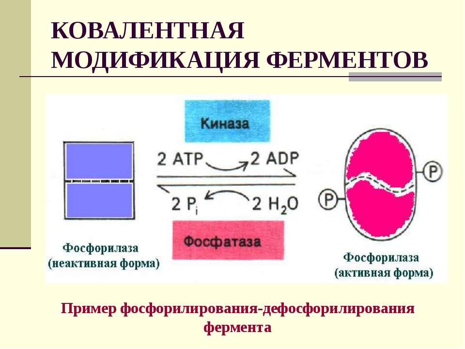 КОВАЛЕНТНАЯ МОДИФИКАЦИЯ ФЕРМЕНТОВ Пример фосфорилирования-дефосфорилирования ...
