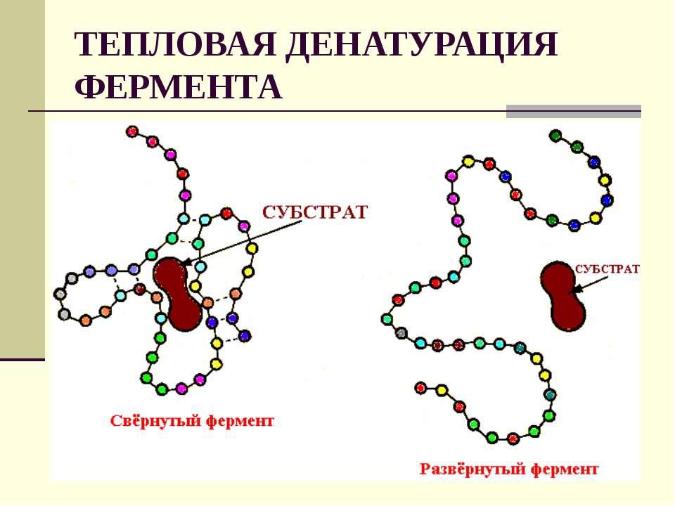 ТЕПЛОВАЯ ДЕНАТУРАЦИЯ ФЕРМЕНТА
