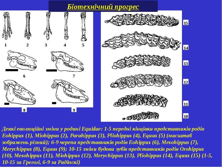 Деякі еволюційні зміни у родині Equidae: 1-5передні кінцівки представників р...