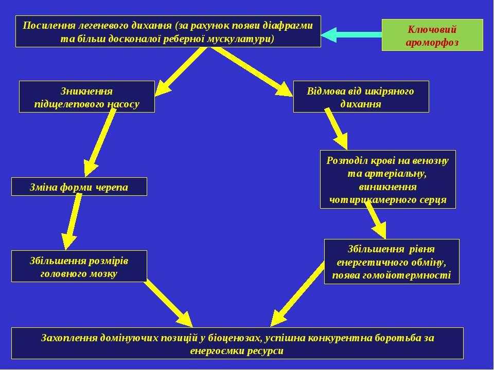 Посилення легеневого дихання (за рахунок появи діафрагми та більш досконалої ...