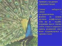 Принцип утруднення (гандікапа) Захаві: Самиці вибирають самців з екстравагант...