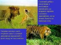 Статевий добір у сполученні з полігамією призводить до яскравих проявів стате...