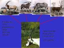 Наприкінці ХІХ ст. розрізняли 12 видів антилоп-оріксів Зараз всі вони віднесе...