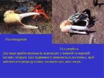 Uca tetragonon Uca perplexa Два види крабів мешкають відповідно у нижній та в...