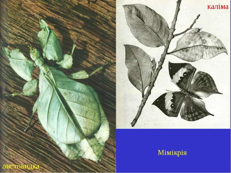 Мімікрія листовидка каліма