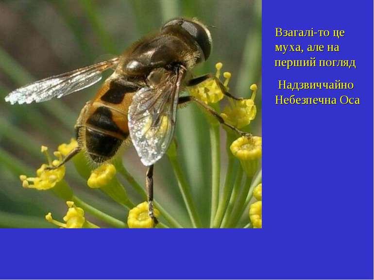 Взагалі-то це муха, але на перший погляд Надзвиччайно Небезпечна Оса
