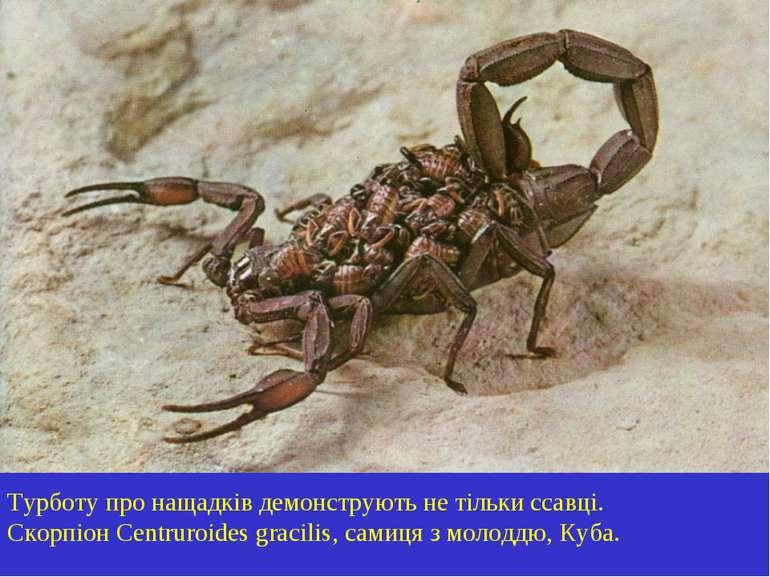Турботу про нащадків демонструють не тільки ссавці. Скорпіон Centruroides gra...