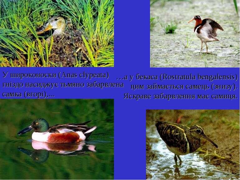 У широконоски (Anas clypeata) гніздо насиджує тьмяно забарвлена самка (вгорі)...