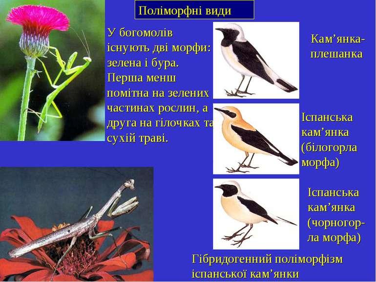 Поліморфні види У богомолів існують дві морфи: зелена і бура. Перша менш помі...