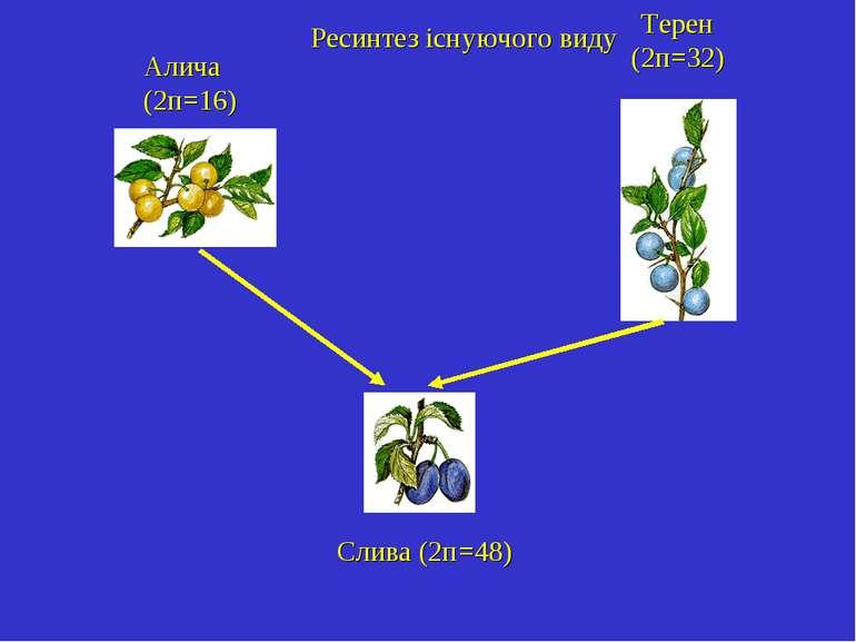 Алича (2п=16) Терен (2п=32) Слива (2п=48) Ресинтез існуючого виду