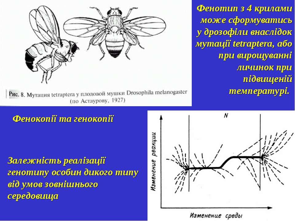 Залежність реалізації генотипу особин дикого типу від умов зовнішнього середо...