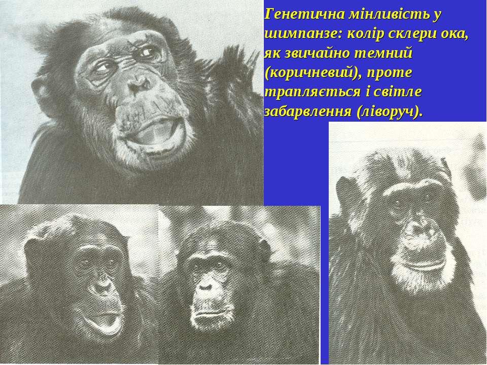 Генетична мінливість у шимпанзе: колір склери ока, як звичайно темний (коричн...