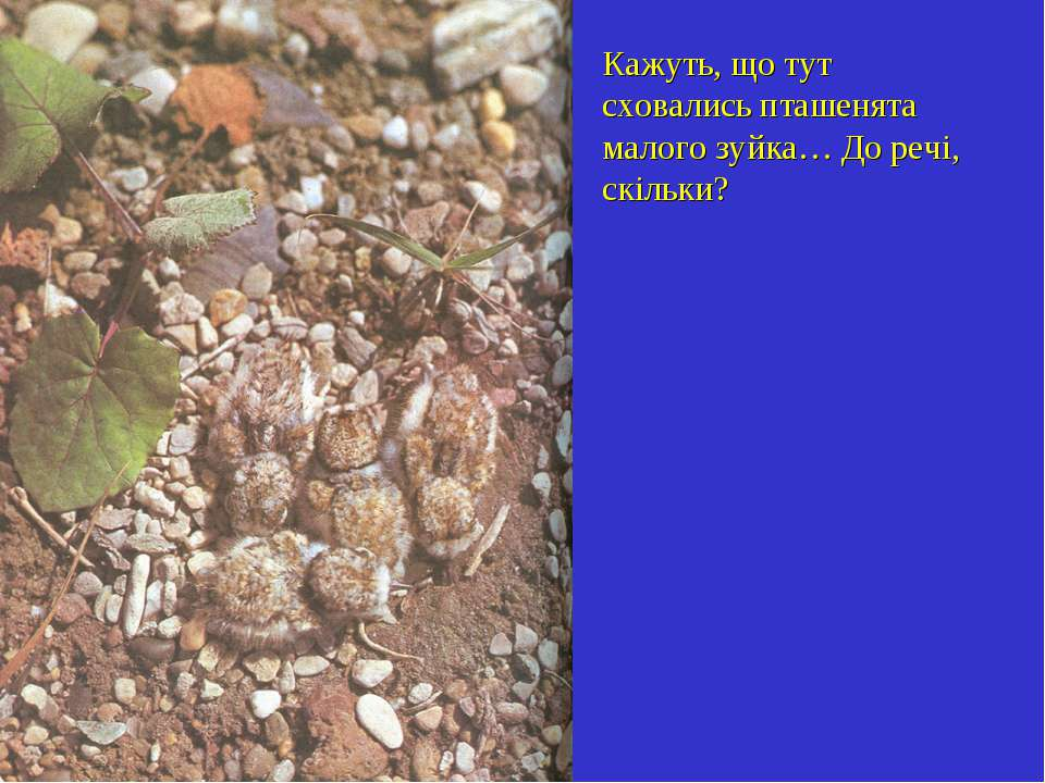 Кажуть, що тут сховались пташенята малого зуйка… До речі, скільки?