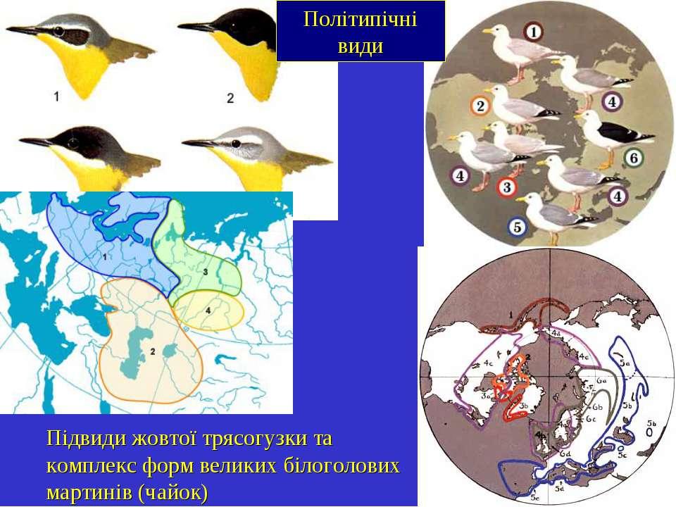 Політипічні види Підвиди жовтої трясогузки та комплекс форм великих білоголов...