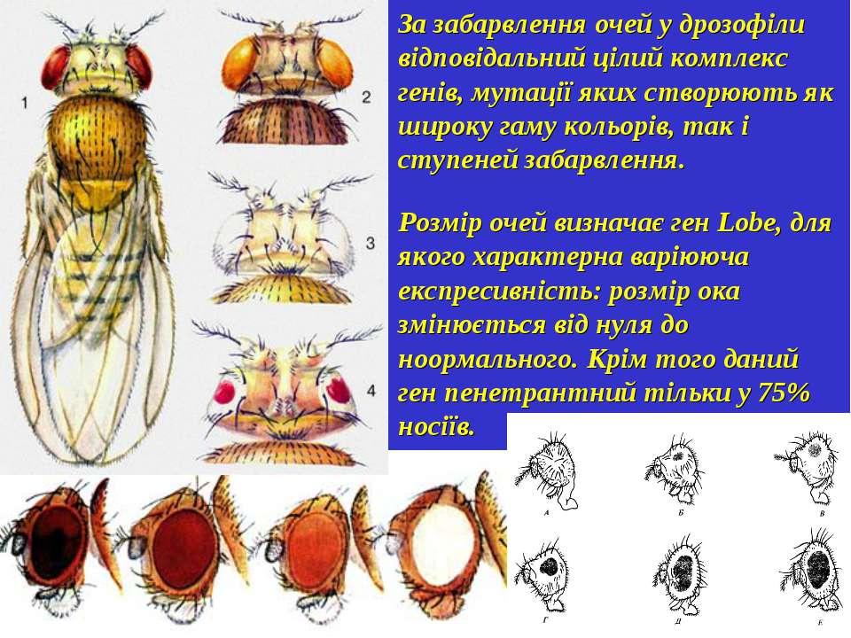 За забарвлення очей у дрозофіли відповідальний цілий комплекс генів, мутації ...
