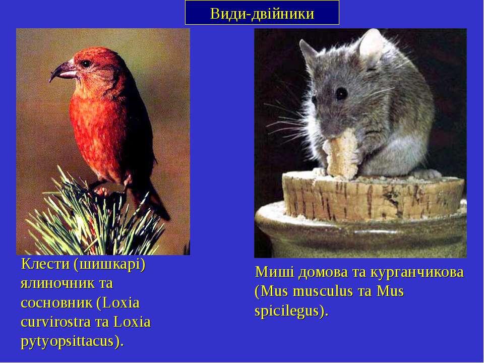 Види-двійники Клести (шишкарі) ялиночник та сосновник (Loxia curvirostra та L...