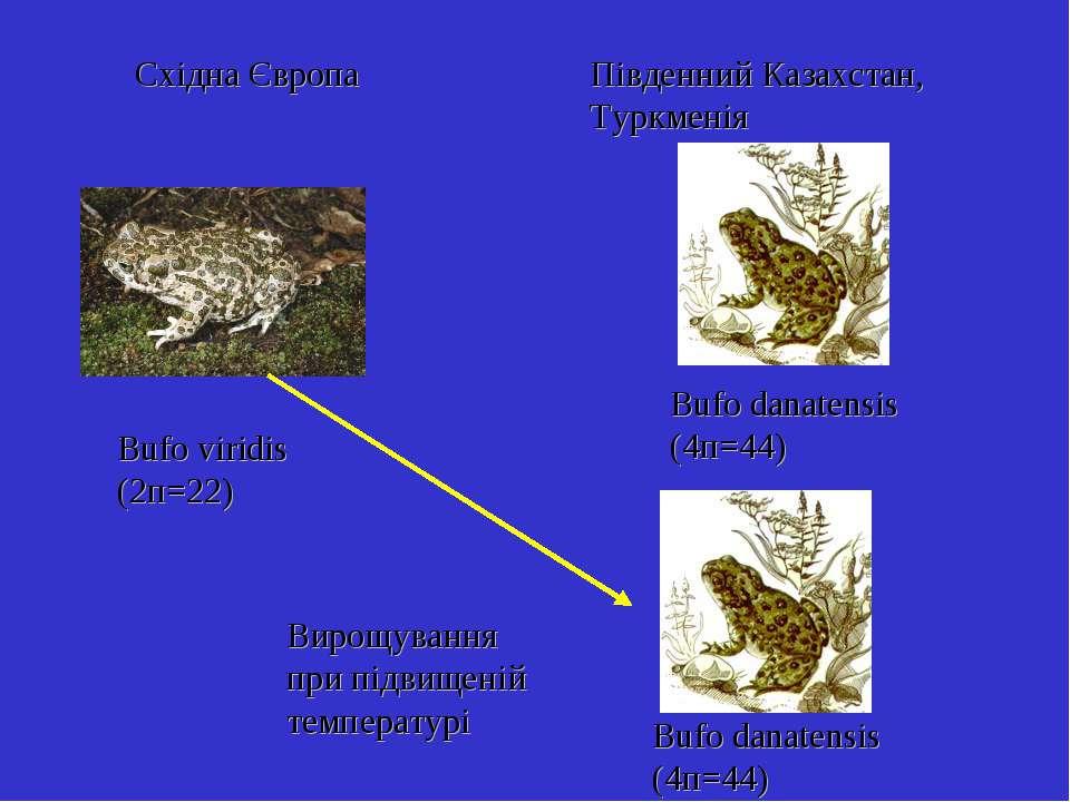 Bufo viridis (2п=22) Bufo danatensis (4п=44) Східна Європа Південний Казахста...
