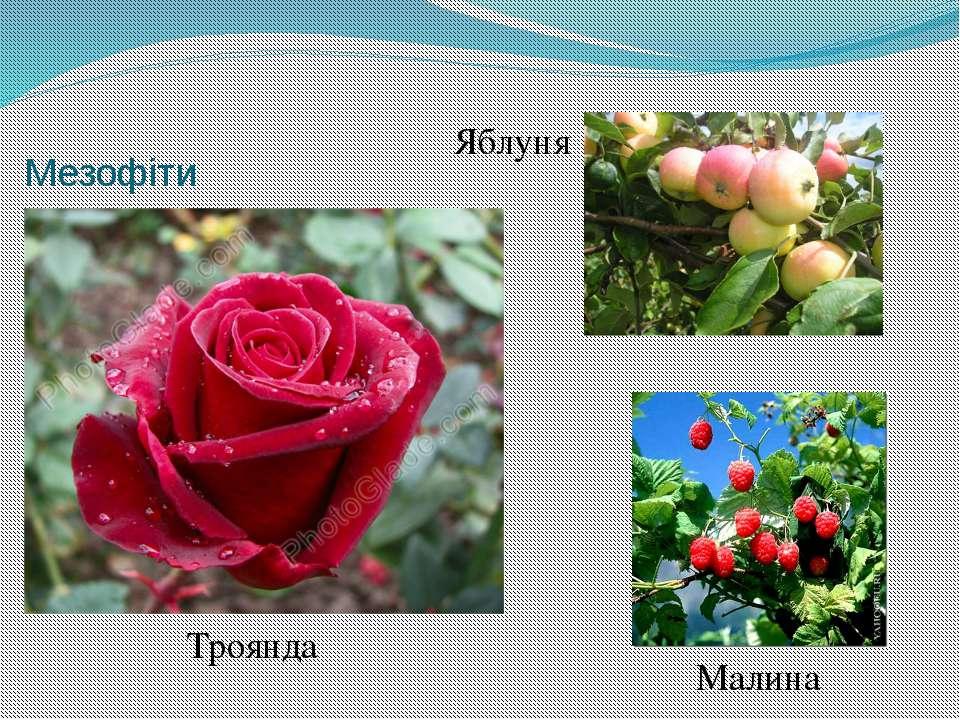 Мезофіти Малина Троянда Яблуня