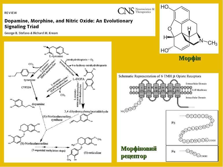 Морфіновий рецептор Морфін
