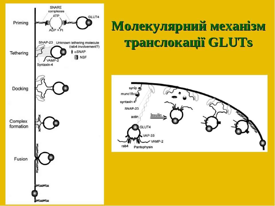 Молекулярний механізм транслокації GLUTs